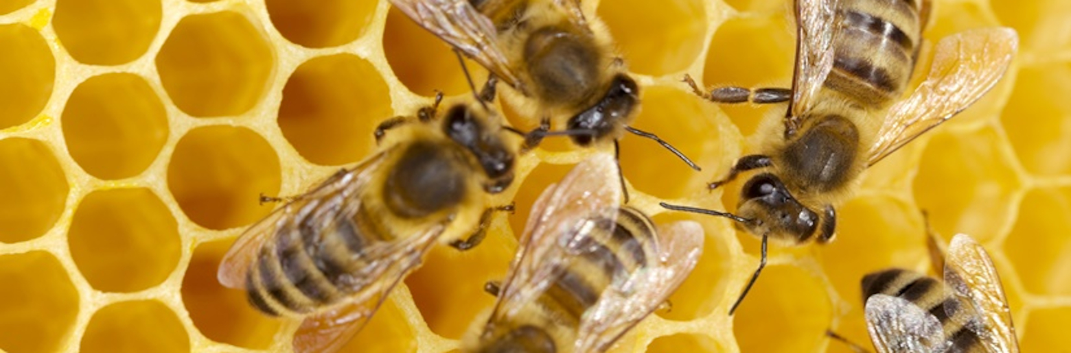 Multiple bees working on a honeycomb